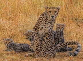 cheetah-famely
