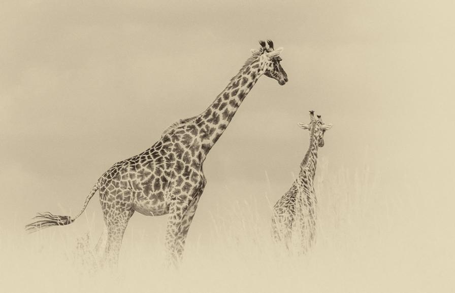 giraffes-family