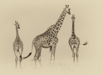 giraffes-family3